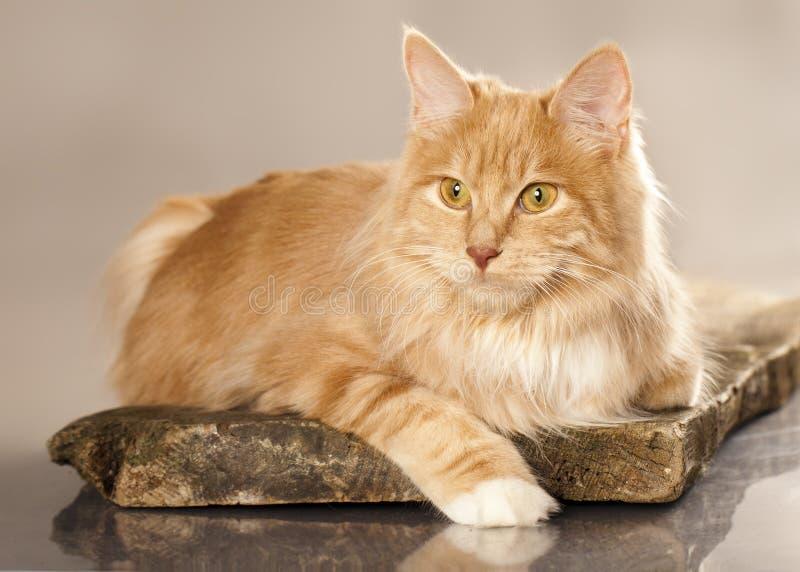 bobtail кот kurilian стоковые фото
