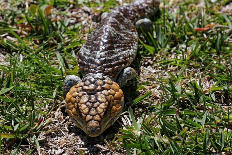 Download Bobtail Lizard stock image. Image of skin, sleepy, environment - 26989983