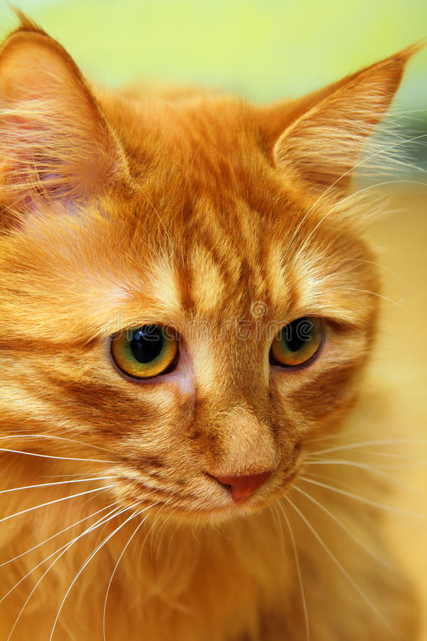 Download Bobtail red cat portrait stock image. Image of bobtail - 16083577