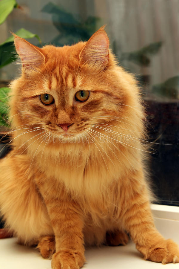 Download Bobtail Red Cat On Window Royalty Free Stock Photos - Image: 14983438