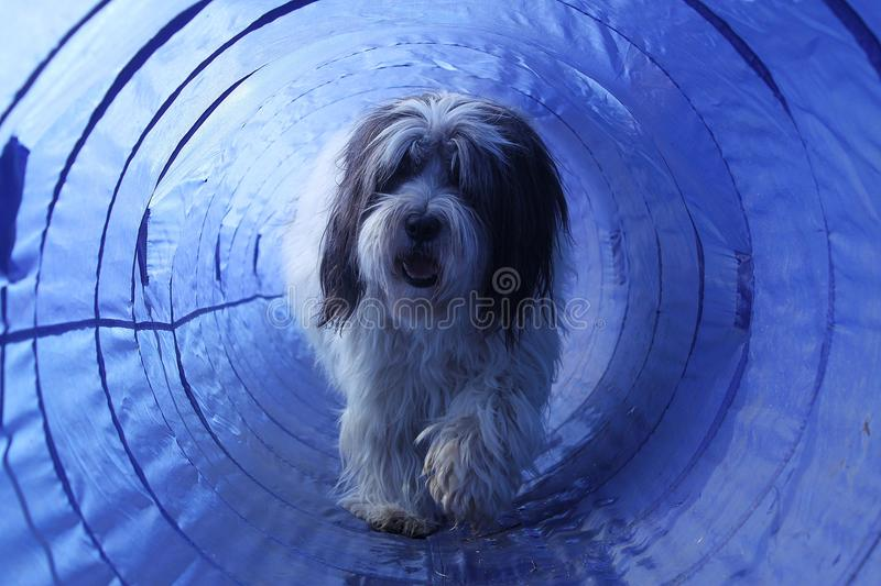 Hairy agility dog in the tunnel royalty free stock image