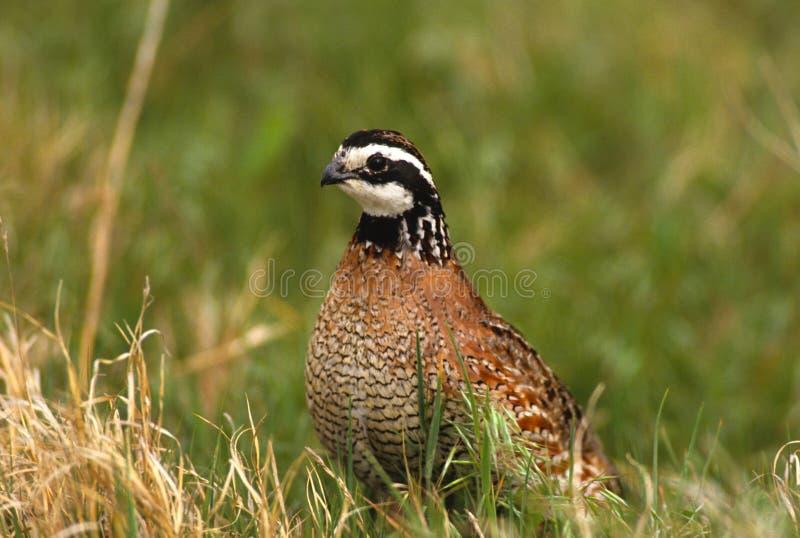 Download Bobwhite Quail Male stock photo. Image of summer, bird - 13106674