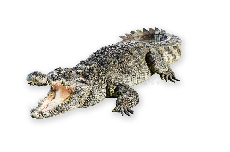 Boca aberta do crocodilo dos animais selvagens isolada no fundo branco fotos de stock