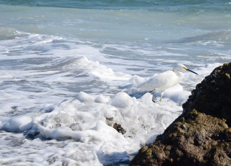 An Egret is Camouflaged in the White Sea Foam of the Boca Beach Waves. The Boca Beach Egrets are Voracious Hunters and Spend All Day Working Their Craft royalty free stock images
