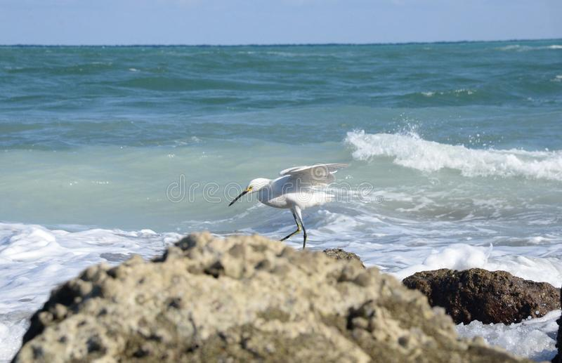 A white Egret Fishes from the Rocks on Boca Beach. The Boca Beach is a Favorite of boaters and fisherman, but wildlife is the main beneficiary of its location stock image