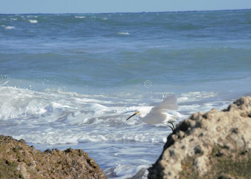 A White Egret marches along the rocks near the Boca Raton, Florida Inlet Hops Among the Beach Rocks. The Boca Beach is a Favorite of boaters and fisherman, but royalty free stock photo