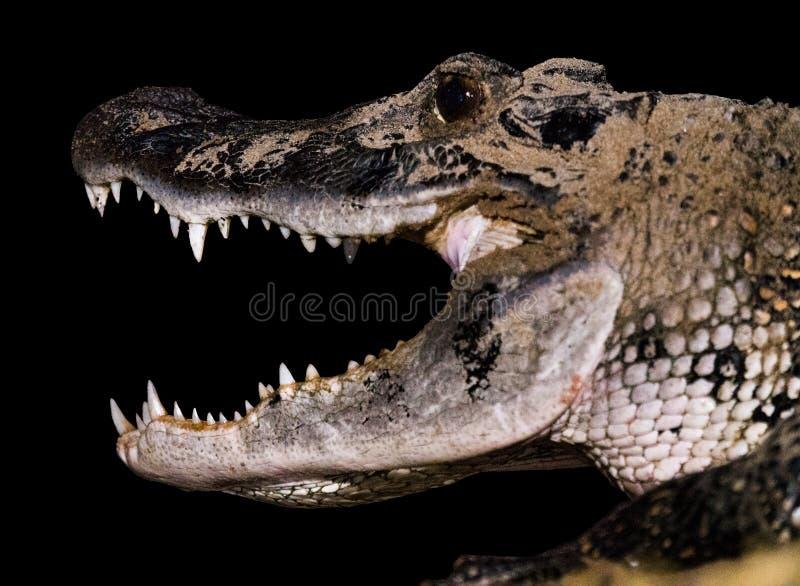Boca da maxila do crocodilo de caimão foto de stock royalty free