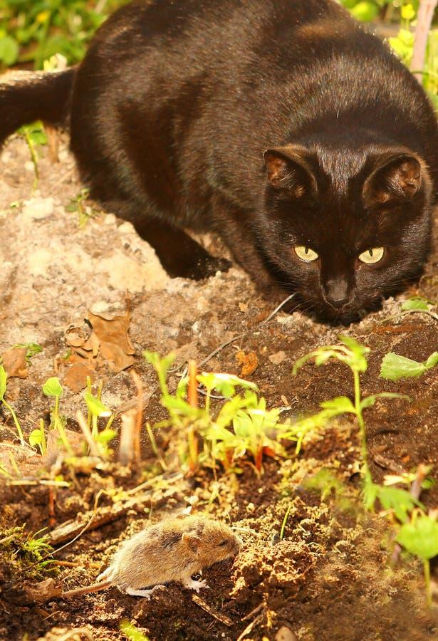 Boca de la caza del gato negro en el jardín del verano fotos de archivo