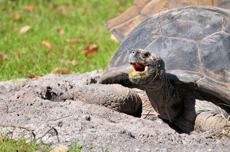 Boca de la tortuga de las Islas Galápagos abierta fotos de archivo libres de regalías