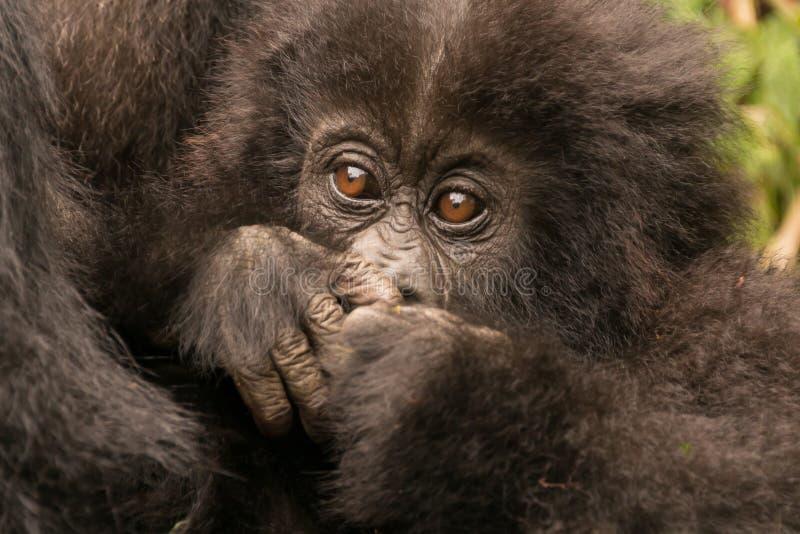Boca de ocultación del primer del gorila del bebé con las manos fotografía de archivo