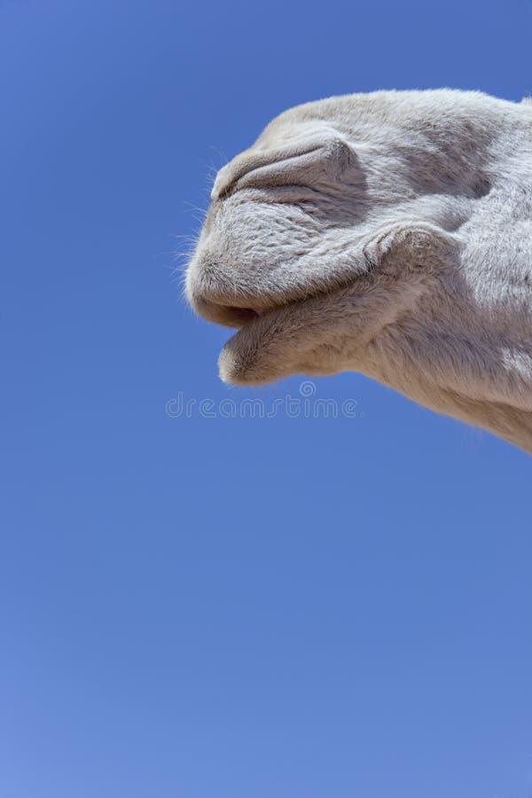 Boca de un dromedario blanco (camello). imágenes de archivo libres de regalías