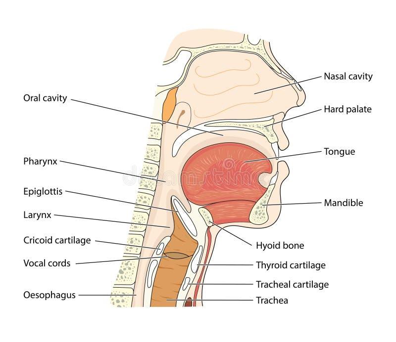 Boca e garganta do nariz ilustração stock