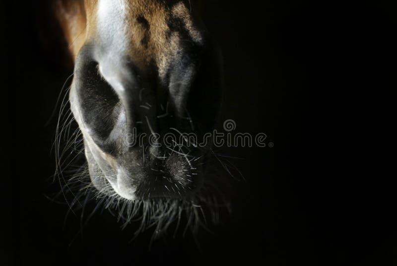Boca e nariz do cavalo fotografia de stock