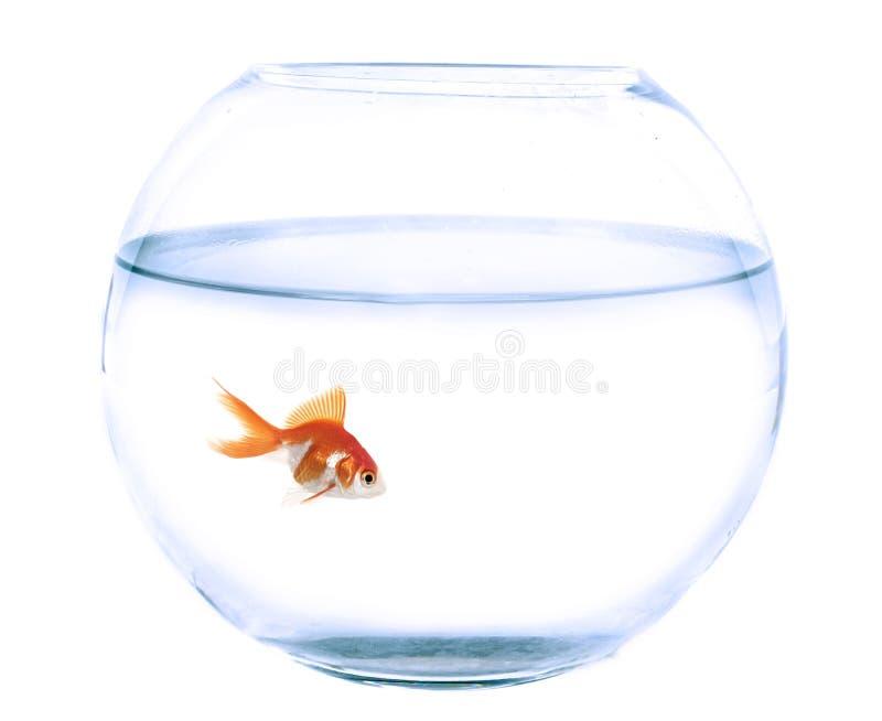 Bocal poissons et poisson rouge dans le studio image for Acheter bocal a poisson