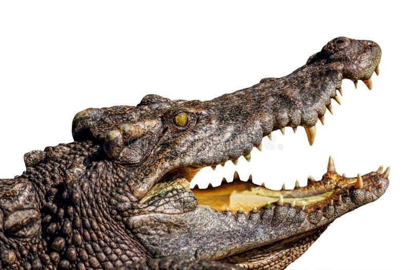Bocca aperta del coccodrillo fotografia stock
