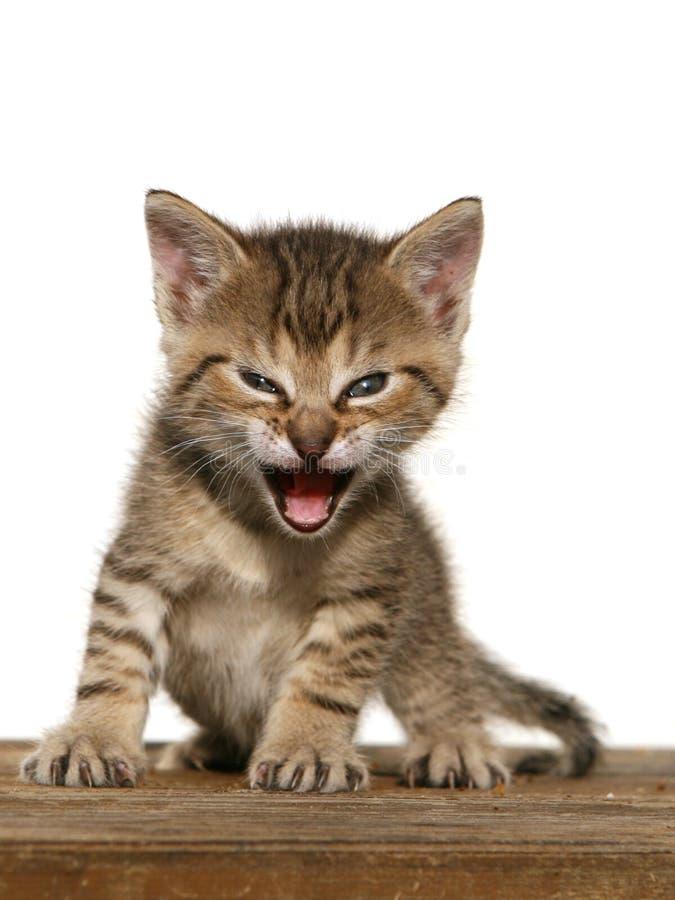 Bocca aperta del gattino immagine stock