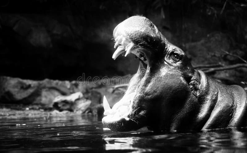 Bocca aperta dell'ippopotamo immagini stock