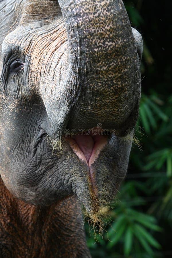 Bocca dell 39 elefante immagine stock immagine di mammiferi - Elefante foglio di colore dell elefante ...