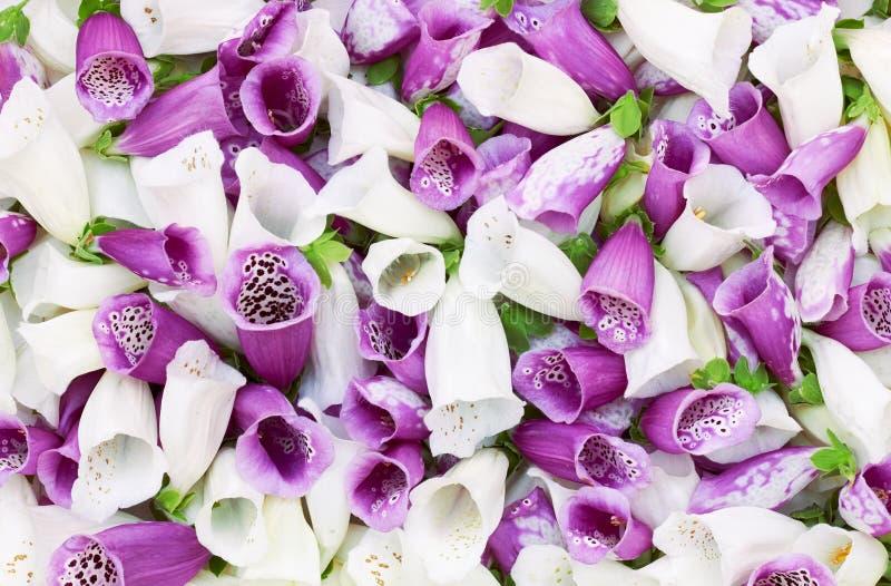 Boccioli di fiori rosa della trama di fondo digitalis fotografia stock
