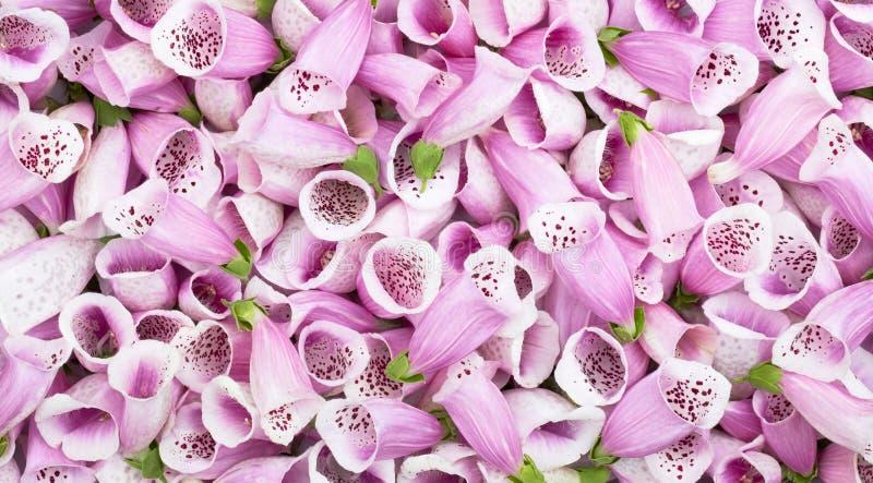 Boccioli di fiori rosa della trama di fondo digitalis fotografia stock libera da diritti