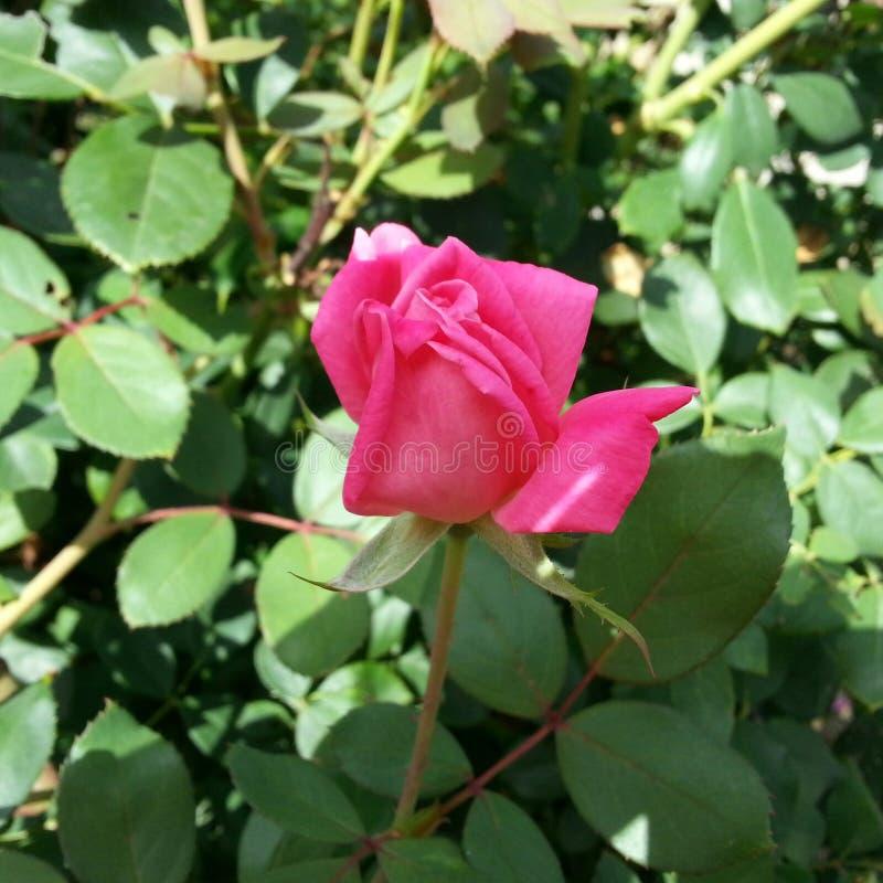 Bocciolo di rosa rosa aperto a mala pena immagini stock libere da diritti