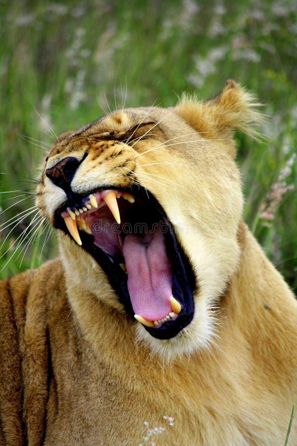 Bocejo da leoa imagens de stock royalty free