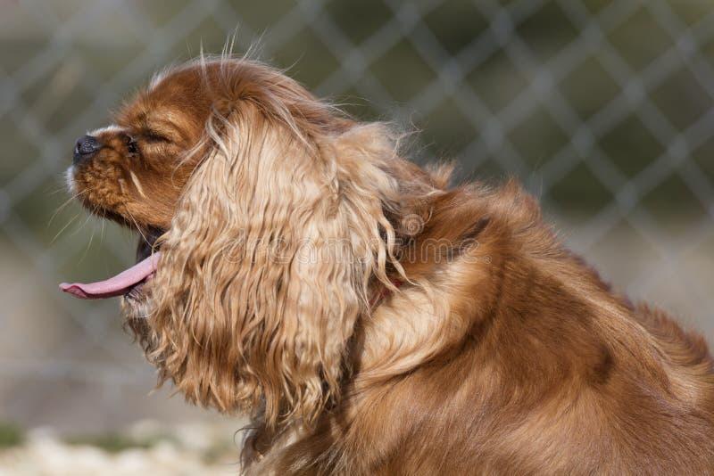 Bocejos descuidados do cão do spaniel do rei fotos de stock royalty free