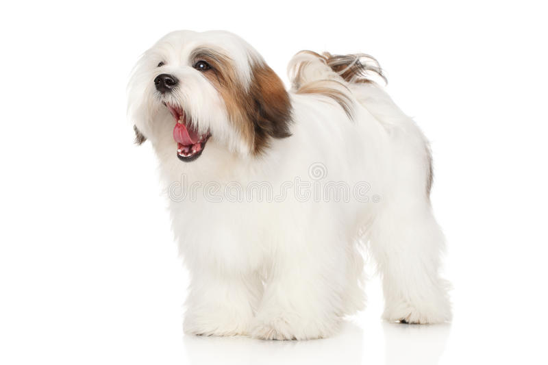 Bocejos do cão de Lhasa Apso foto de stock royalty free
