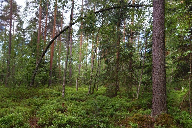 Bochtige boom in een pijnboombos, heel wat groen ter plaatse, rechte boomstammen van andere pijnbomen, de zomer stock afbeeldingen