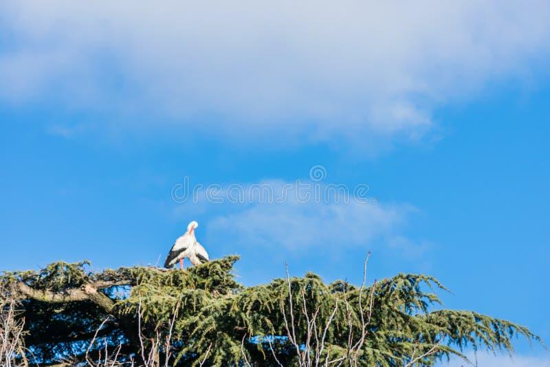 Bocian w swój gniazdeczku na drzewie obrazy royalty free
