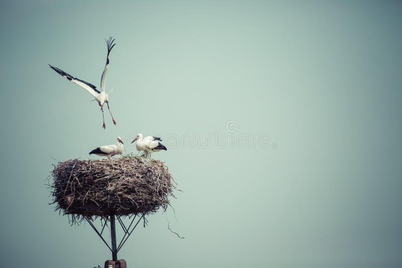 Bocian z dziecko ptakami w gniazdeczku, Polska zdjęcie stock