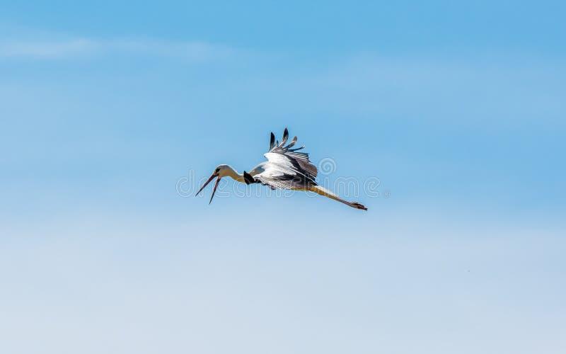 Bocian z otwartym belfrem lata w niebie zdjęcie royalty free