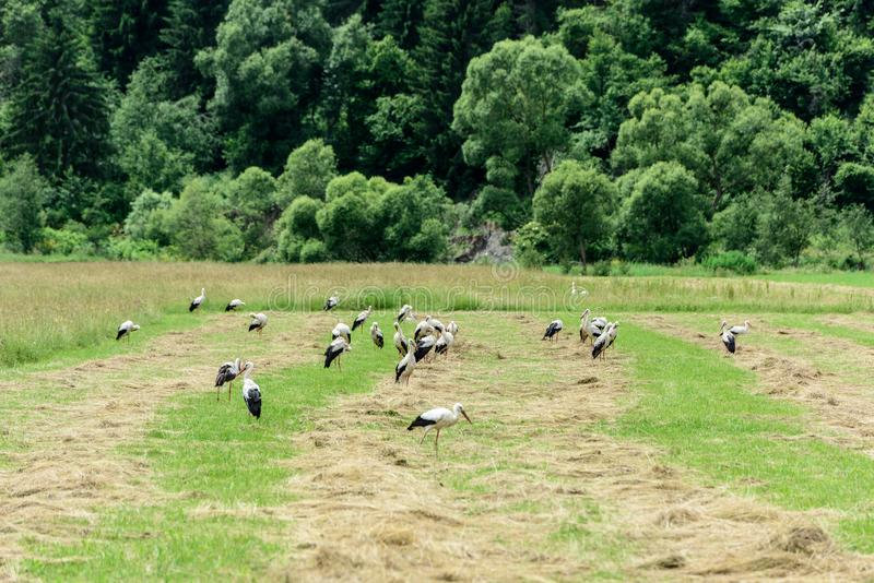 Bocianowa kolonia zdjęcie stock