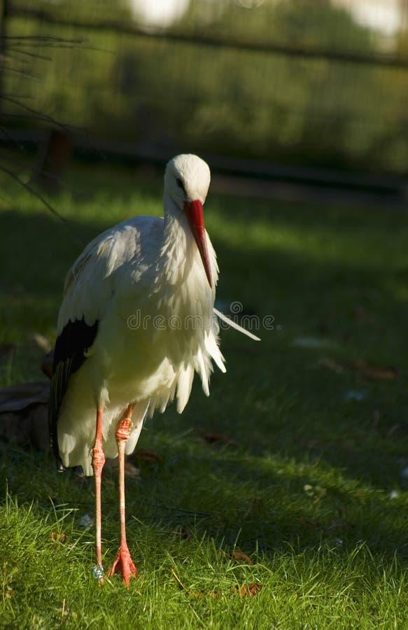 bocianowy ciconia biel fotografia royalty free