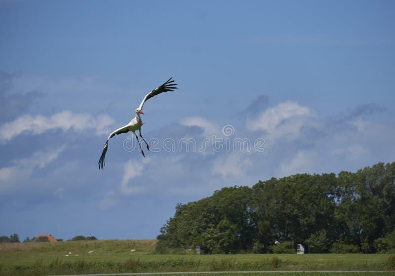 Bocianowy ptasi lądowanie w silnym przecinającym wiatrze zdjęcie royalty free