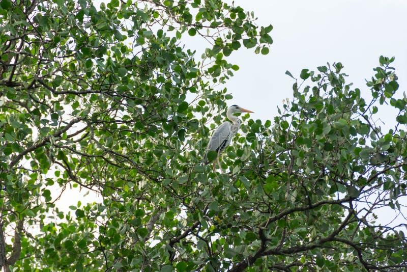 Bocianowy ptasi odpoczywać na drzewie podczas gdy patrzejący dla jedzenia fotografia stock