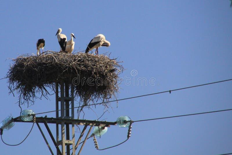 Bocianowy rodzinny utrzymanie w gniazdeczku na elektrycznym słupie przeciw niebieskiemu niebu w Andalusia, Hiszpania zdjęcia stock