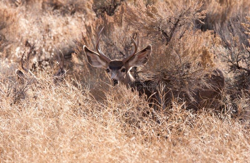 Bocken för mulahjortar ser fotografen royaltyfria foton