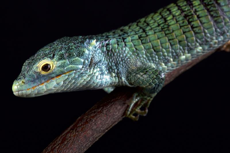Bocourt`s arboreal alligator lizard Abronia vasconcelosii. Is endemic to the Sierra Madre de Chiapas region in Guatemala royalty free stock image