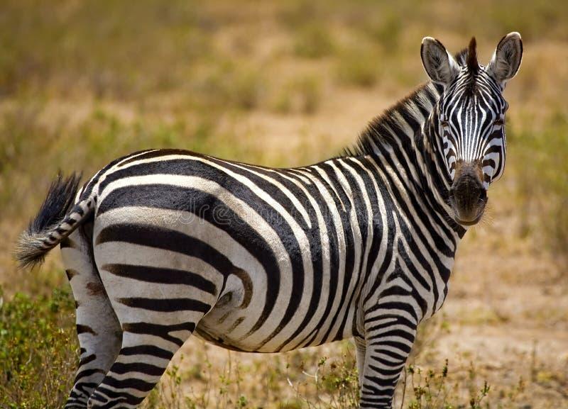 boczne zebra portret fotografia royalty free