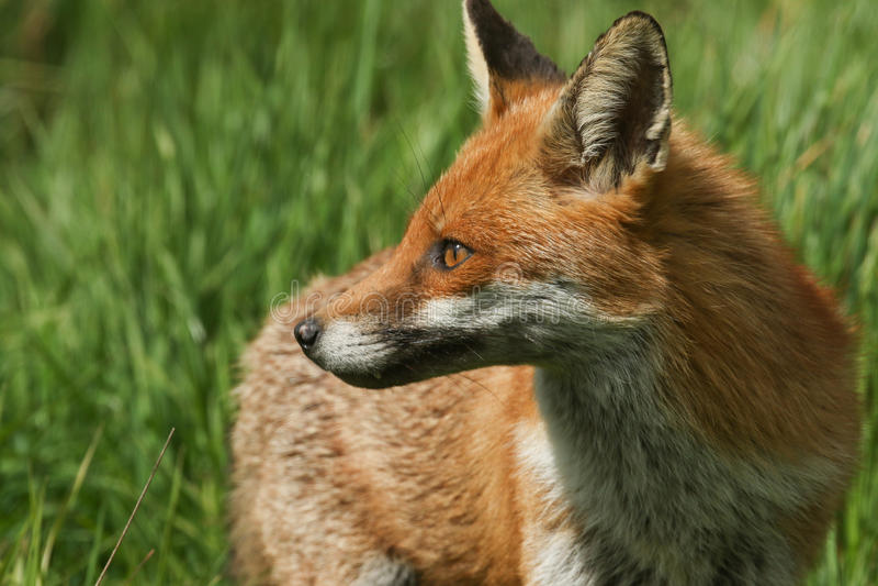 Boczny profil śliczny Czerwonego Fox Vulpes vulpes obrazy stock