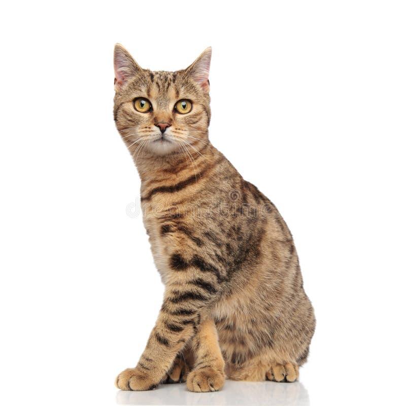 Boczny widok śliczny posadzony brytyjski fałdu kot obrazy royalty free