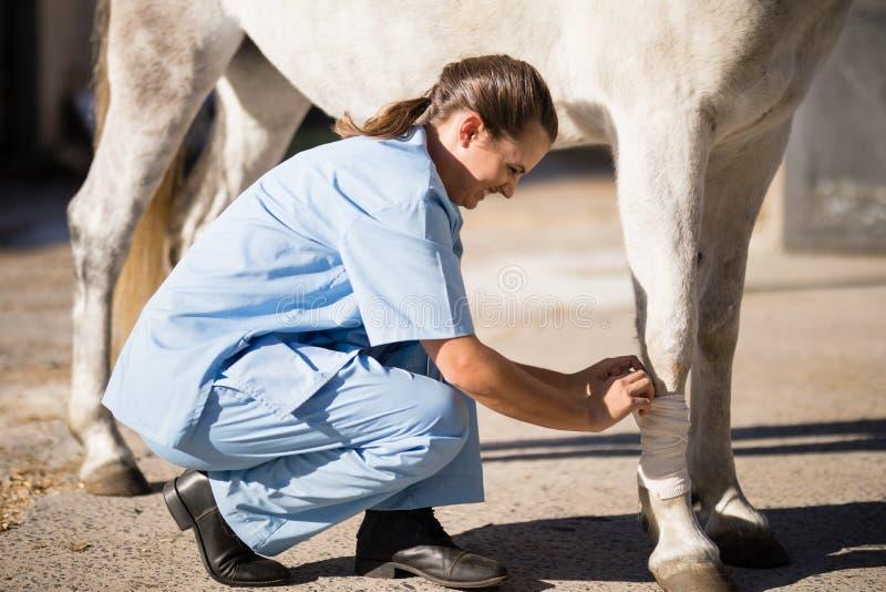 Boczny widok bandażuje końską nogę żeński weterynarz obraz stock
