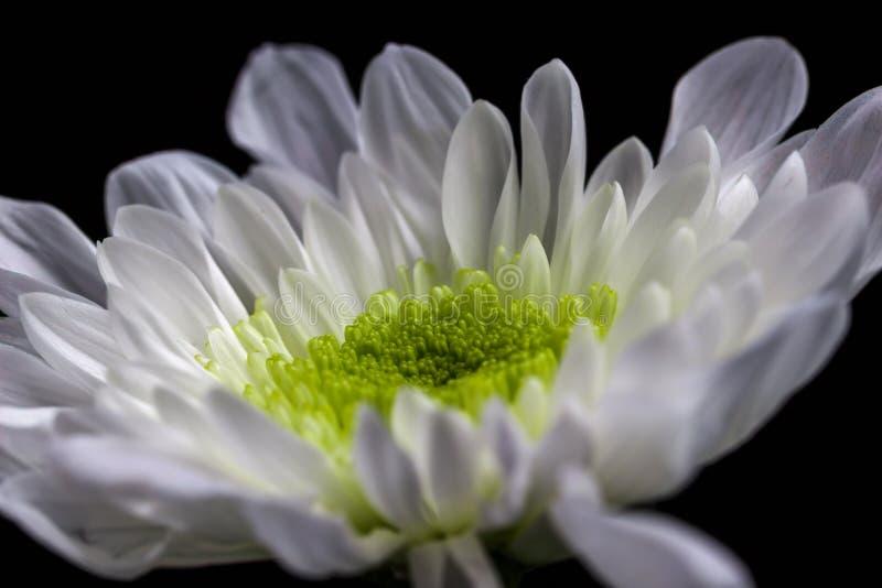 Boczny widok biała chryzantema obrazy stock