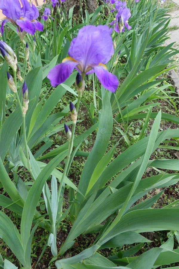 Boczny widok fiołkowy kwiat Irysowy germanica zdjęcie stock