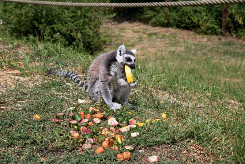 Boczny widok katta je miodowego melone obsiadanie na trawa terenie przy zoo w Germany zdjęcia stock