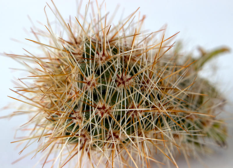 Boczny widok kwiatonośni kaktusy Selekcyjna ostrość na kaktusie, otaczającym dużo długo przejrzystymi i białymi kręgosłupami fotografia royalty free