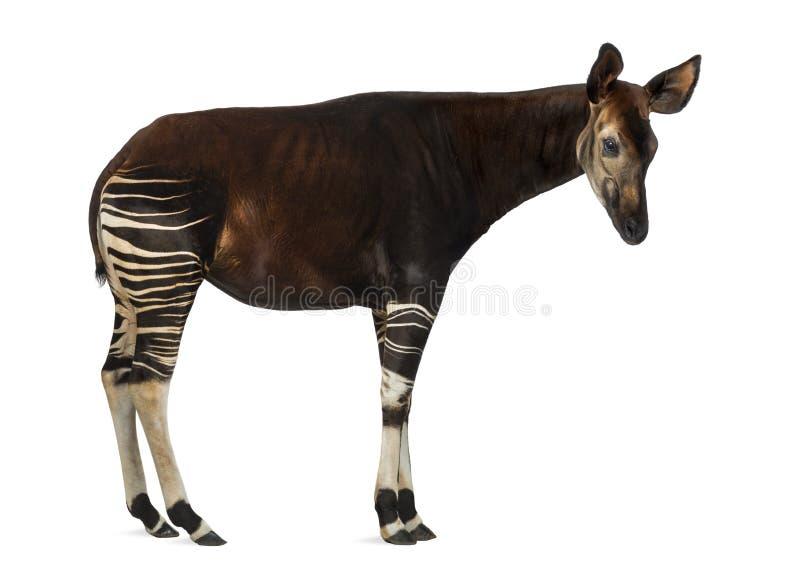 Boczny widok Okapi pozycja, Okapia johnstoni, odizolowywający obrazy royalty free