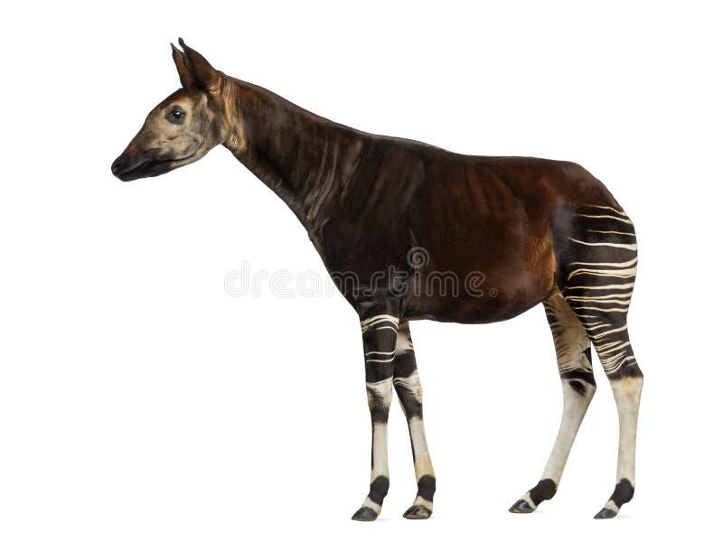 Boczny widok Okapi pozycja, Okapia johnstoni, odizolowywający zdjęcia stock