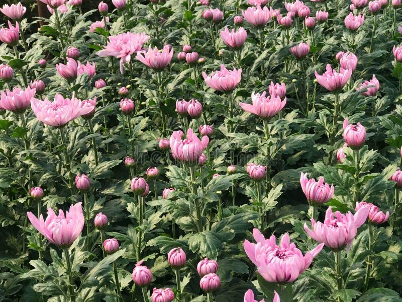 Boczny widok piękna różowa stokrotka lub chryzantema obrazy royalty free